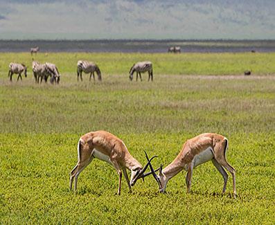 serengeti safari impalla